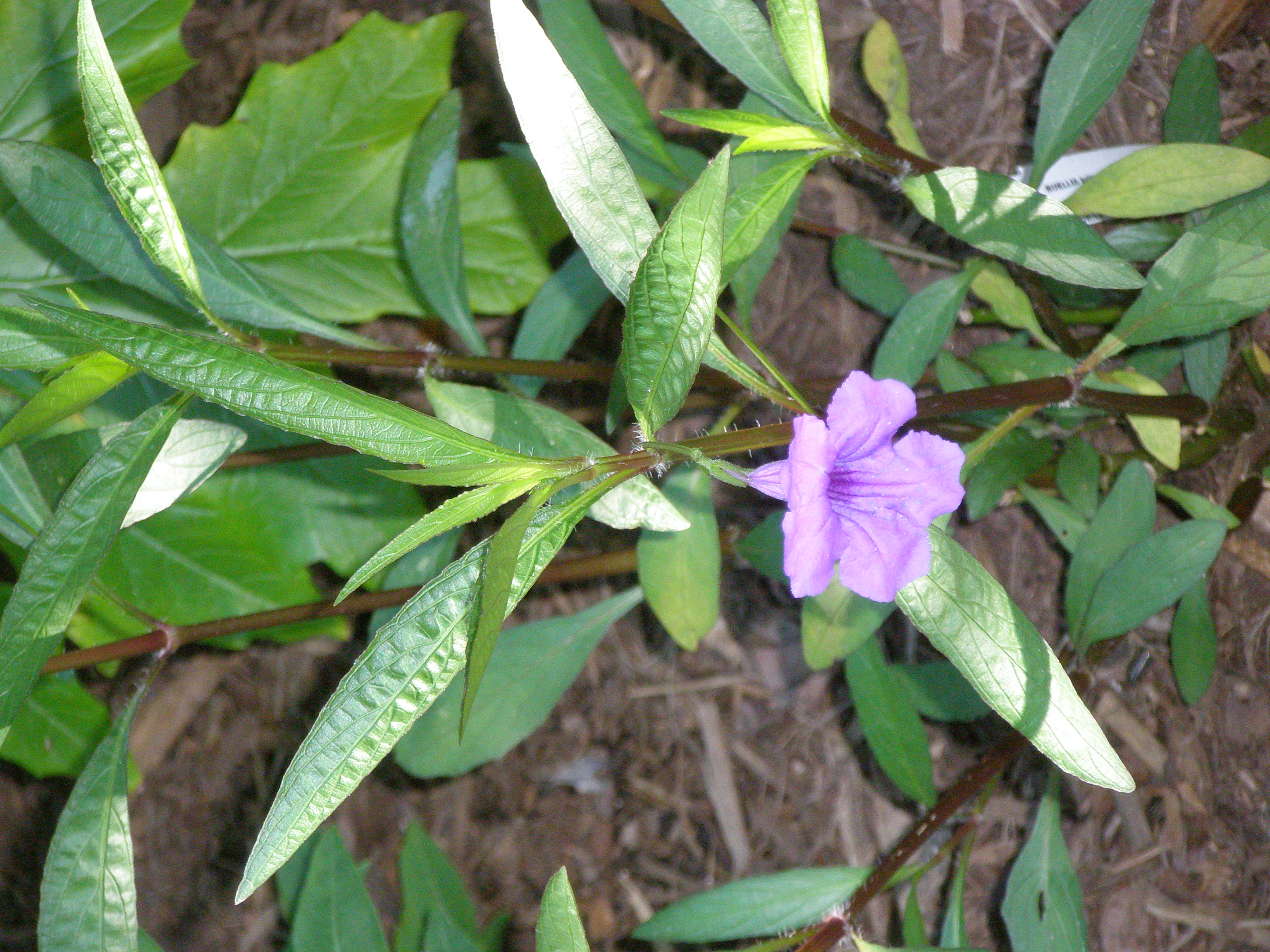 An Exotic Twist On A Humble Annual Perennial Mexican Petunia You