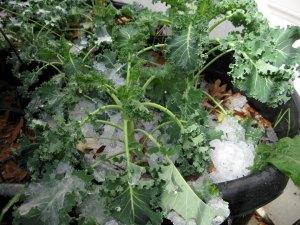 Kale on ice--January 2013