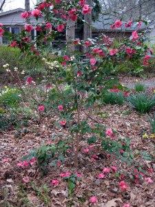 camellia_wide