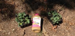Look for the pink cap! Osmocote fertilizer rocks!