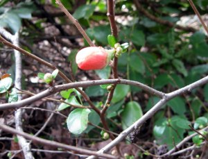 winter_quince