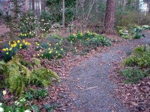 daffodil_2