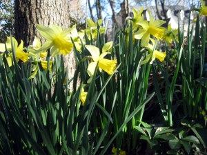 daffodil_3