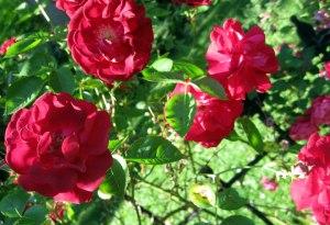 rose_mid