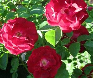 rose_tight