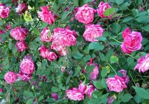 roses_best