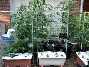 tomato_gardenwide